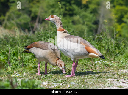 Pair of Egyptian geese (Alopochen aegyptiaca) standing on land in Spring in West Sussex, England, UK. Egyptian goose. - Stock Image