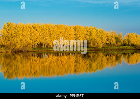 Autumn deciduous forest in bright yellow tones and a gently blue sky reflects on the water surface - Stock Image