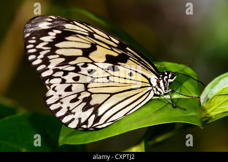 Paper Kite Butterfly - Stock Image