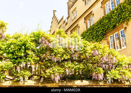 Wisteria, Wisterias are deciduous, twining climbers, Fabaceae, Papilionoideae, Wisteria flower, Wisteria flowers, Wisteria flowering, Wisteria vine - Stock Image