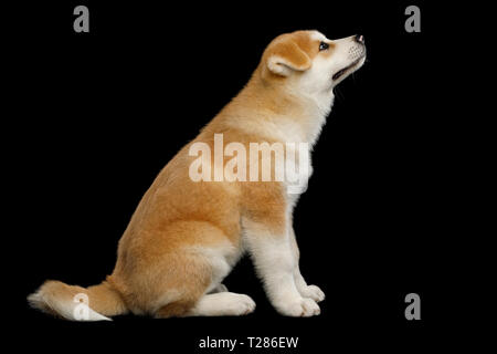 Cute Akita Inu Puppy Sitting, Looking up and ask food, on Isolated Black Background, side view - Stock Image