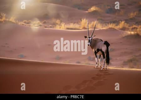 A solitary oryx (oryx gazella) standing still on top of a sand dune ridge looking at the camera, with sunset back lighting and lens flare. In Sossusvl - Stock Image