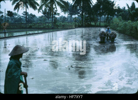 People working in the rice field; area of Jogjakarta, Java, Indonesia. - Stock Image