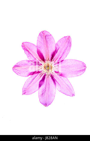 Diaphonous petals on an eightfold mauve coloured flower of a climbing plant - Stock Image