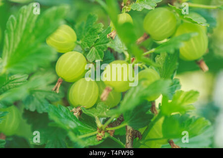 The Large berries of gooseberry green foliage - Stock Image