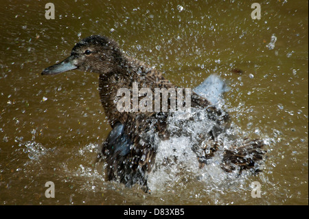 Abstract image of an Argentine Cinnamon Teal  Anas cyanoptera cyanoptera splashing in the water - Stock Image