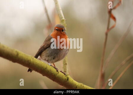 Robin redbreast, sitting on a branch, looking at the camera. Erithacus rubecula. - Stock Image