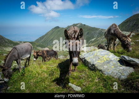 Three donkeys eating grass in the mountains with blue sky and clouds in the background - Stock Image