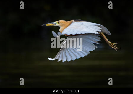 Stork in flight, Indonesia - Stock Image