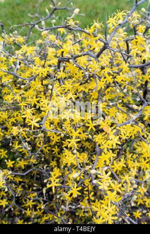 corokia cotoneaster - Stock Image