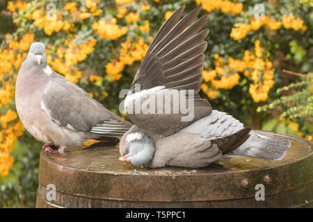 Stirlingshire, Scotland, UK. 26th Apr, 2019. UK weather - wood pigeons taking a shower on a showery day in Stirlingshire, holding wings upright one at a time allowing the rain to clean their feathers Credit: Kay Roxby/Alamy Live News - Stock Image
