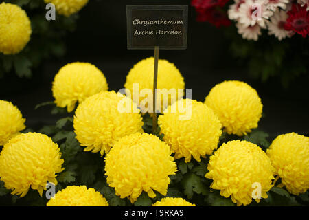 Chrysanthemum Archie Harrison, named to celebrate the birth of the the Duke and Duchess of Sussex first child, on display at the RHS Chelsea Flower Show at the Royal Hospital Chelsea, London. - Stock Image