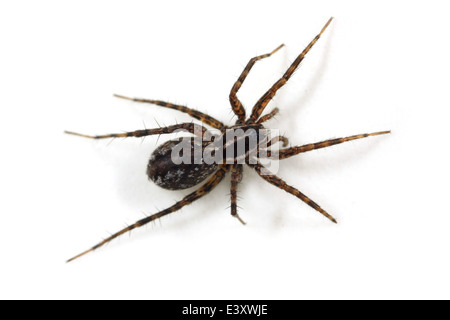 Female Pin-stripe wolf-spider (Pardosa monticola), part of the family Lycosidae - Wolf spiders. Isolated on white - Stock Image