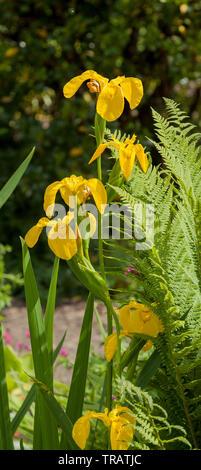 Yellow flag, Iris pseudacorus, pond plant - Stock Image