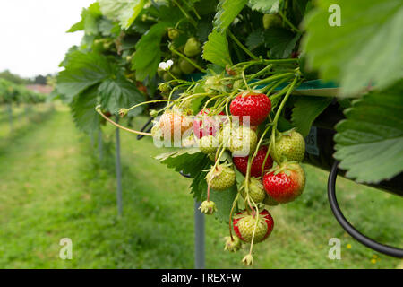 Strawberries at different stages of ripening with blurry background. unsharpened. - Stock Image