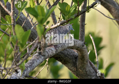 An Australian, Queensland Peaceful Dove ( Geopelia striata ) well camouflaged perched in thick bush - Stock Image