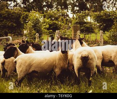 Sheep huddle - Stock Image