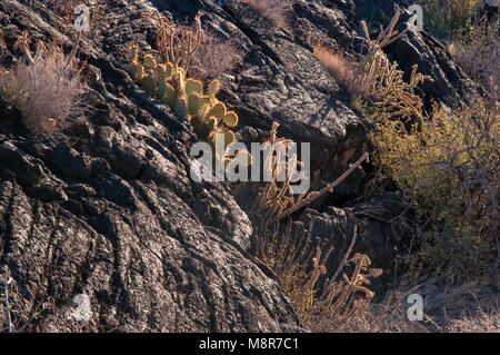 Cacti growing in  cracks in pahoehoe lava field, Carrizozo Malpais lava flow at Valley of Fires, Tularosa Basin - Stock Image
