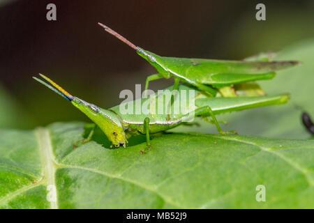 Green grass pyrgomorph, eating aubergine leaves, brisbane, queensland, Ausralia - Stock Image