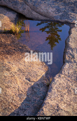 Pine tree reflected in standing water along the coast of Acadia National Park in Maine - Stock Image