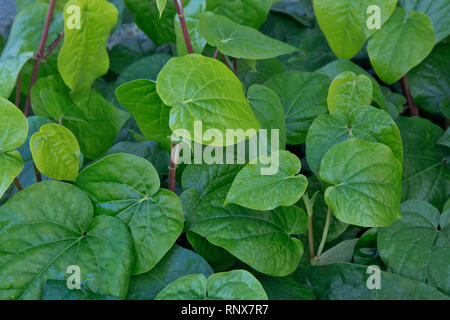 Betel 'Piper betle' vine, close-up of foliage, growing in greenhouse, evergreen perennial, originated in South & South East  Asia. - Stock Image