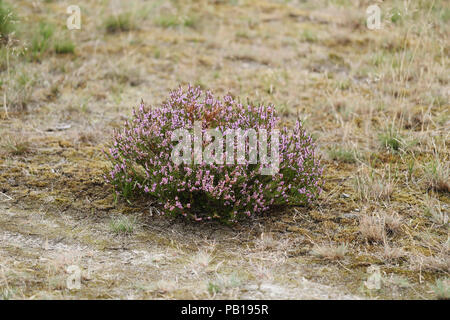 Common Heather also known as Ling (Calluna vulgaris) - Stock Image