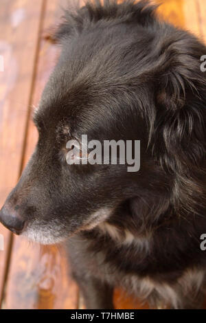 A beautiful, old black and white dog with a gray muzzle looking off into the distance with a sad expression on her face - Stock Image