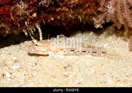 Decorated Sand Goby, Istigobius decoratus. Uepi, Solomon Islands. Solomon Sea, Pacific Ocean - Stock Image