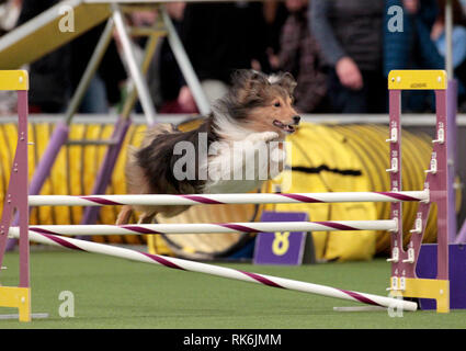New York, USA. 9th Feb 2019. Tarzan, a Shetland Sheepdog, competing in the preliminaries of the Westminster Kennel Club's Master's Agility Championship. Credit: Adam Stoltman/Alamy Live News - Stock Image