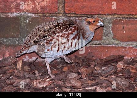 Grey Peacock Pheasant (polyplectron bicalcaratum) female - Stock Image