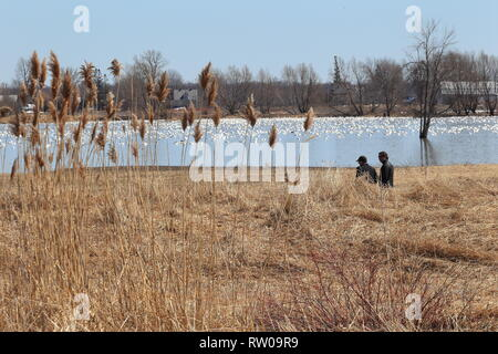 Quebec,Canada. A couple watching snow geese at the Lac Saint-Pierre RAMSAR site in saint-Barthelemy - Stock Image