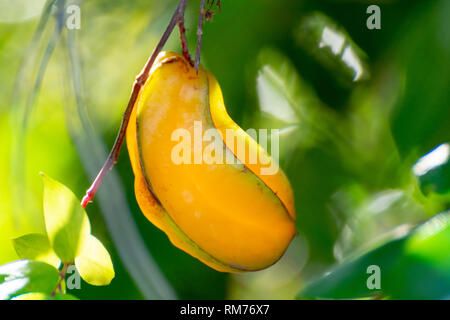 Ripe orange averrhoa carambola or star fruits growing on tree in tropical climate, ready for harvest close up - Stock Image