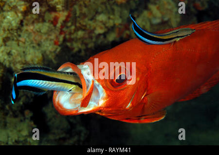Two Cleaner Wrasses on a Lunar-tailed Bigeye, one inside the Mouth. Tofo, Mozambique - Stock Image