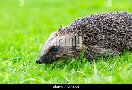 Hedgehog, (Scientific name: Erinaceus Europaeus) wild, native, European hedgehog in natural garden habitat with green grass.  Facing left.  Close up.  - Stock Image