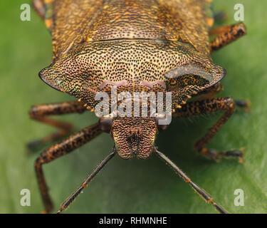 Bronze Shieldbug (Troilus luridus) close up of the head detail. Tipperary, Ireland - Stock Image