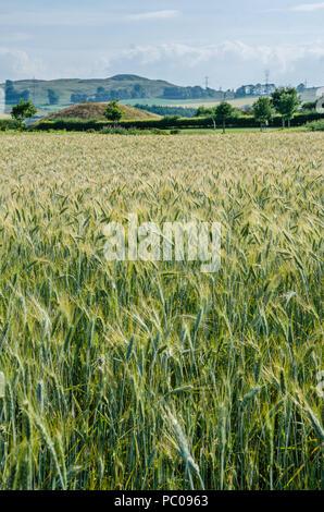A field of barley growing on a farm near Kirriemuir in Scotland. - Stock Image
