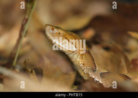 Portrait of a copperhead snake. - Stock Image