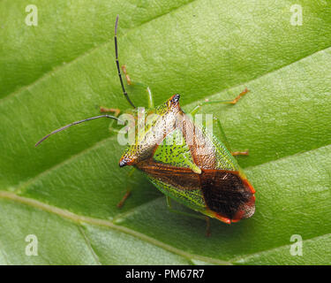 Dorsal view of Hawthorn Shieldbug (Acanthosoma haemorrhoidale) resting on rhododendron leaf. Tipperary, Ireland - Stock Image