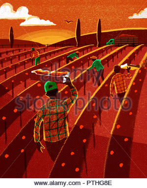 Migrant fruit pickers working in field at sunset - Stock Image