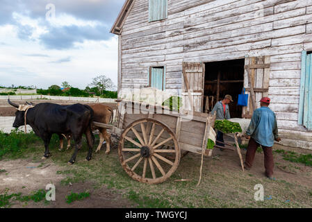 Two tobacco farm workers carrying their days pickings of tobacco leaves into the tobacco drying shed - Stock Image