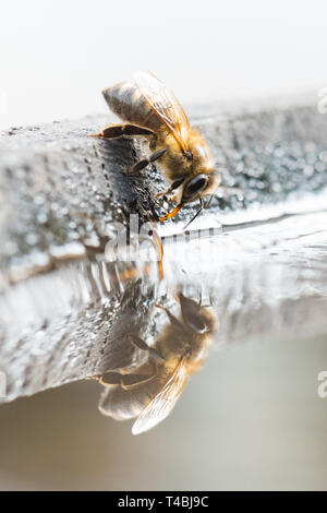 Honey Bee - Apis mellifera - drinking water from bird bath, UK - Stock Image