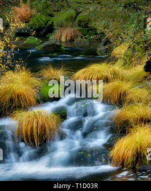 Bunch grasses in fall color along the   Wild and Scenic Clakamas River, Oregon - Stock Image