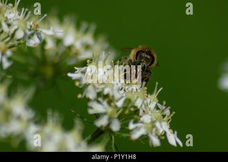 A honey bee face on drinking from a Hogweed flower - Stock Image