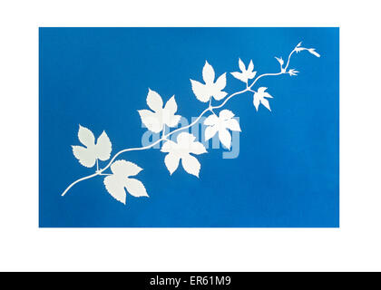 Cyanotype blueprint of golden hop leaves. Gives white negative image on blue background Process invented by Sir - Stock Image