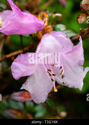 Pink spring flower of the compact dwarf evergreen, Rhododendron pemakoense - Stock Image