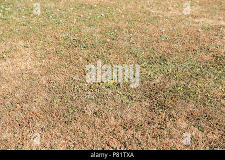 Lawn in a drought, the grass has gone brown. UK garden parched in summer. - Stock Image