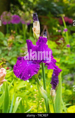 A purple iris growing in a garden in north east Italy. The flower is wet from recent rain. - Stock Image