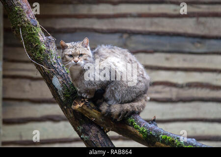 European wildcat Felis silvestris silvestris in Kadzidlowo Wild Animals Park in Poland - Stock Image