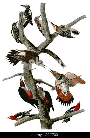 1 Northern Flicker, Colaptes auratus, 2 Lewis Woodpecker, Melanerpes lewis, 3 Red-bellied Woodpecker, Melanerpes - Stock Image