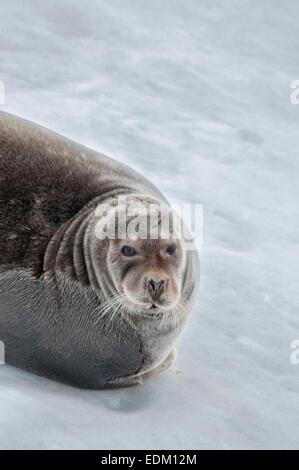 Close up portrait of a Bearded Seal or Square Flipper Seal, Erignathus barbatus,, Hinlopen Strait, Svalbard Archepelago, - Stock Image